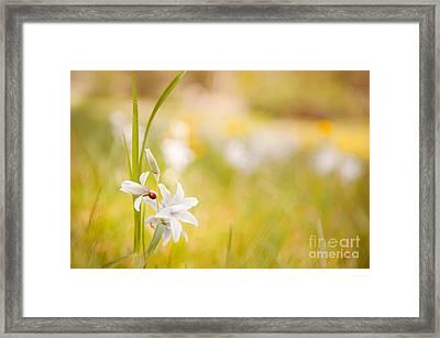 White Ornithogalum Nutans Flower With Ladybug  Framed Print