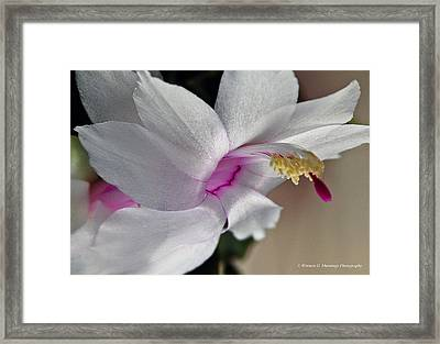 White Christmas Cactus Framed Print