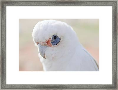 White Cockatoo, Exmouth, Australia Framed Print by Science Photo Library
