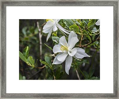 White Columbine Framed Print by Aaron Spong