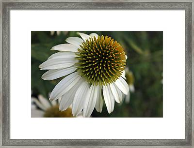 White Coneflower Framed Print by Ellen Tully