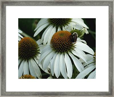 Framed Print featuring the photograph White Coneflowers  by James C Thomas
