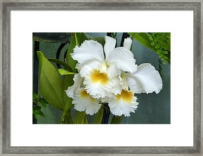 Framed Print featuring the photograph White Corsage Orchid Trio by Cindy McDaniel