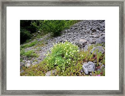 White Corydalis (corydalis Ochroleuca) Framed Print