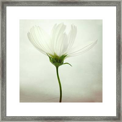 White Cosmos Framed Print