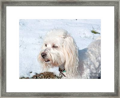White Coton De Tulear Dog In Snow Framed Print