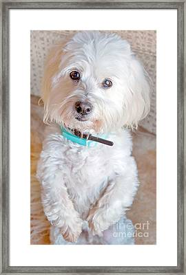 White Coton De Tulear Dog Standing Up Framed Print