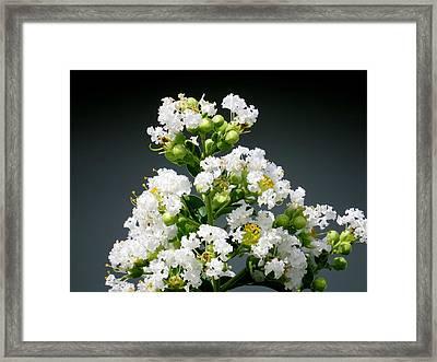 White Crape Myrtle Framed Print