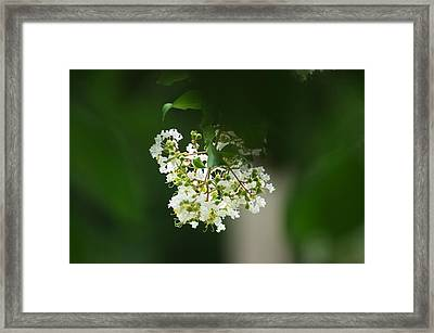 Framed Print featuring the photograph White Crepe Myrtle Blossom by Suzanne Powers