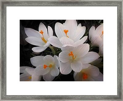 White Crocuses Framed Print