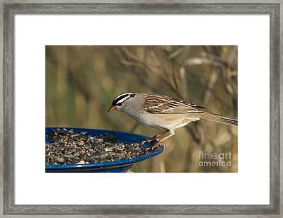 White-crowned Sparrow Eats Framed Print by Linda Freshwaters Arndt