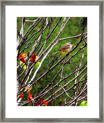 White-crowned Sparrow Framed Print by Timothy Bulone