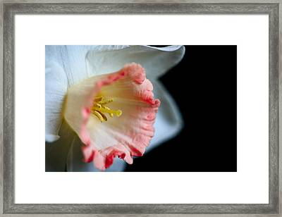 White Daffodil Framed Print by John Holloway