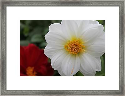 White Dahlia Framed Print by Kristi Schmit