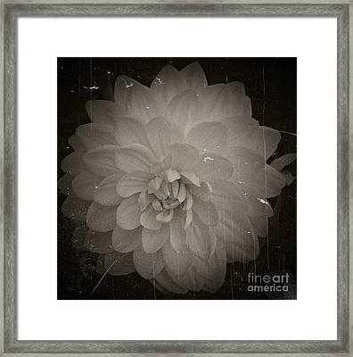 White Dahlia Processed 2 Framed Print by Chalet Roome-Rigdon