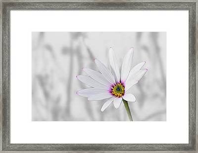 White Daisy Bush Framed Print