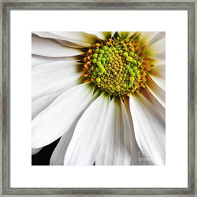 White Daisy Closeup Framed Print by Madonna Martin