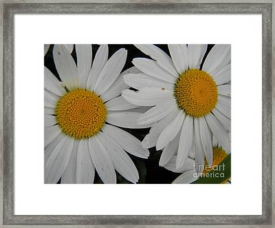 White Daisy In Full Bloom Framed Print