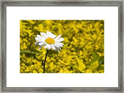 White Daisy In Yellow Garden Framed Print
