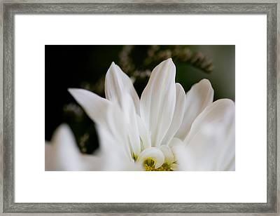 White Daisy Framed Print by John Holloway