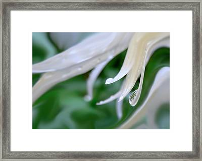 White Daisy Petals Raindrops Framed Print by Jennie Marie Schell