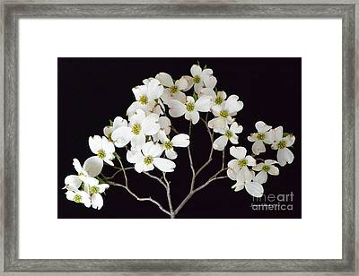 Framed Print featuring the photograph White Dogwood Branch by Jeannie Rhode