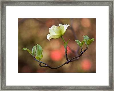 White Dogwood In Early Spring Framed Print by Frank Tozier