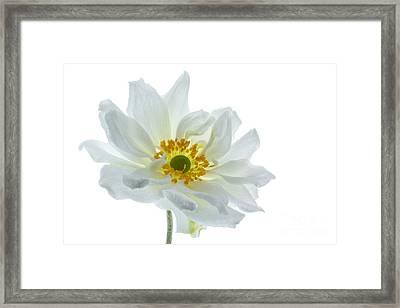 White Double Japanese Anemone Framed Print by Ann Garrett