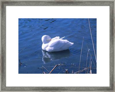 Framed Print featuring the photograph White Duck by David Klaboe