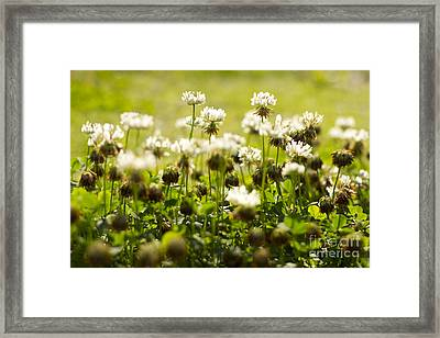 White Dutch Clover Wild Plants In The Sunshine Framed Print