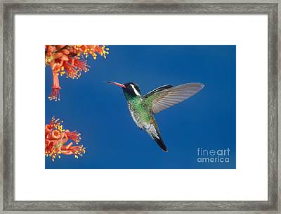 White-eared Hummingbird Framed Print by Anthony Mercieca
