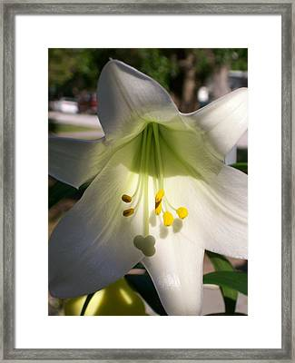 Framed Print featuring the photograph White Easter Lily by Belinda Lee