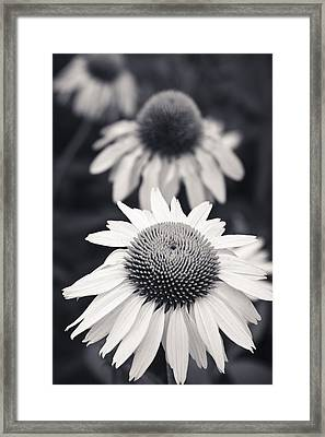 White Echinacea Flower Or Coneflower Framed Print by Adam Romanowicz