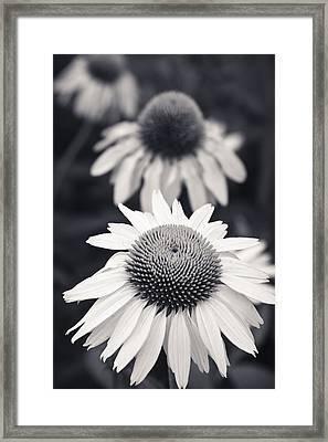 White Echinacea Flower Or Coneflower Framed Print