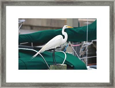 White Egret Framed Print by Debra Forand