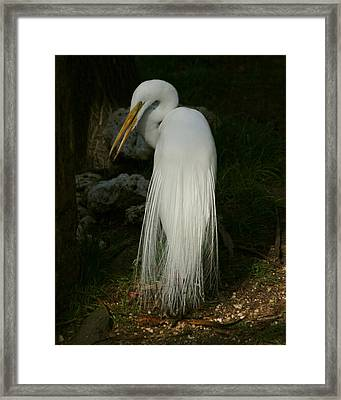 Framed Print featuring the photograph White Egret In The Shadows by Myrna Bradshaw