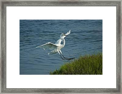 White Egret Landing 2 Framed Print by Ernie Echols