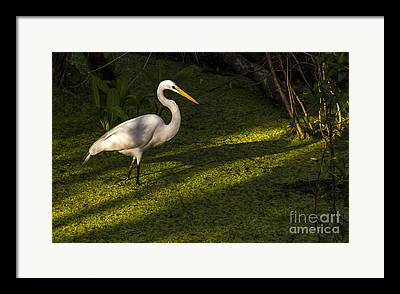 Water Foul Framed Prints