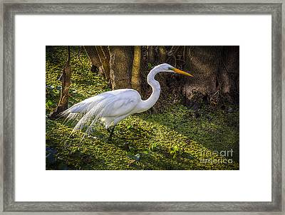 White Egret On The Hunt Framed Print