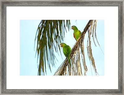 White-eyed Parakeets, Brazil Framed Print