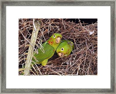 White-eyed Parakeets Nesting Framed Print by Science Photo Library