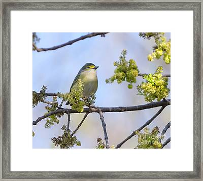 White-eyed Vireo Framed Print