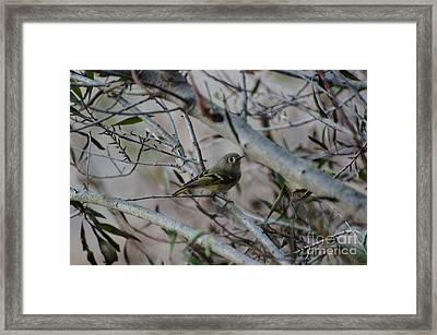 White-eyed Vireo Framed Print by Donna Brown