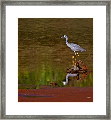 White Faced Heron And His Reflection Framed Print by Mr Bennett Kent