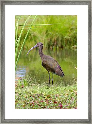 Framed Print featuring the photograph White-faced Ibis 2 by Bob and Jan Shriner