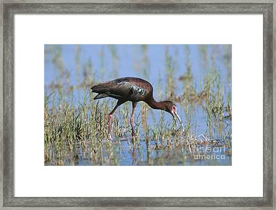 White-faced Ibis Framed Print by Anthony Mercieca