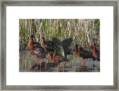 White-faced Ibis  Framed Print by Jill Bell