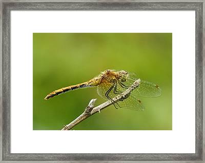 White-faced Meadow Hawk Framed Print