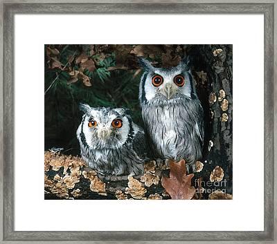 White Faced Scops Owl Framed Print by Hans Reinhard