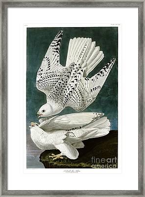White Falcon Framed Print